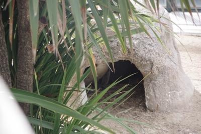 200322_09 海響館0209p (111)フンボルトペンギン特別保護区_ひながいる巣.JPG