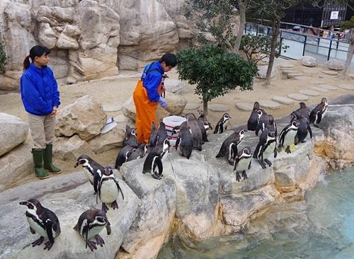 200322_11 海響館0209p (5)フンボルトペンギン特別保護区_えさやり.JPG