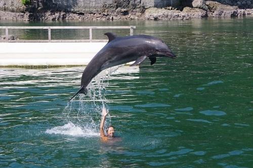 200922 下田海中水族館11_0814p (25)湾内イルカショー_スタッフの上をジャンプ.JPG
