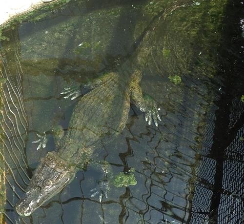 2009熱川バナナワニ園14_0813R (16)メガネカイマン.JPG