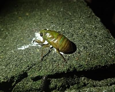 2017ミンミンゼミ幼虫.JPG