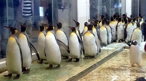 20191025_白浜アドベン11-1020o (95)キングペンギン.JPG