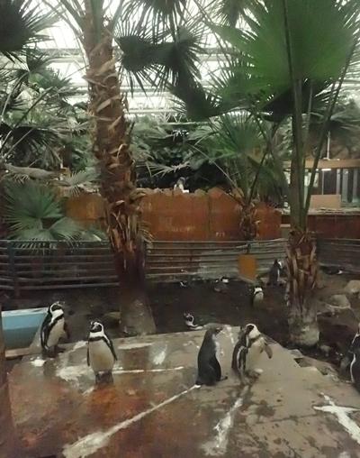 20200114 伊勢シーパラ_11_0104o (15)ペンギンの森_フンボルトペンギン_.JPG