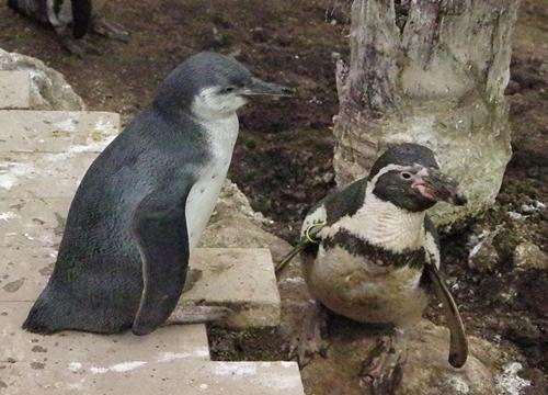 20200114 伊勢シーパラ_13_0104p (142)フンボルトペンギン_亜成鳥と親.JPG