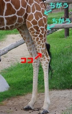みさき公園1708_05キリン_音羽ハート.JPG