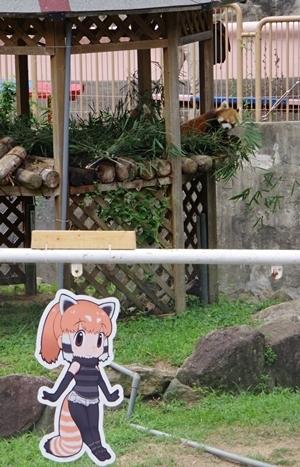 みさき公園1708_10シセンレッサーパンダ.JPG