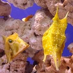 コンゴウフグ サンシャイン水族館151020.JPG