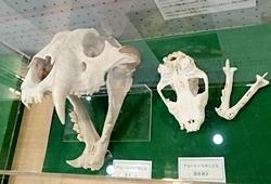 ネコ展_トラ頭骨.JPG