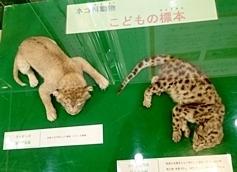 ネコ展_赤ちゃん剥製2.JPG