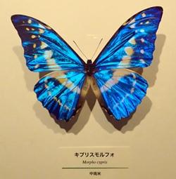 ヒカリ展05_モルフォ.JPG