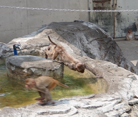 東武動物公園アカゲザルa.JPG
