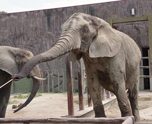 東武動物公園アフリカゾウ_餌やり.JPG