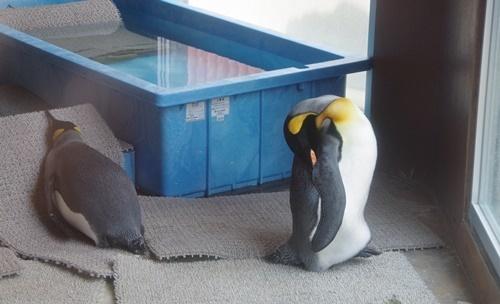 東武動物公園キングペンギン.JPG
