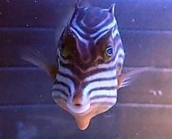 竹島水族館160225 ショウズカウフィッシュ.JPG