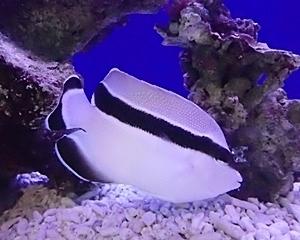 竹島水族館160225 ブラックバンデッドエンゼルフィッシュ.JPG