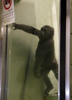s170818東山動物園ナイト09ゴリラ小.JPG