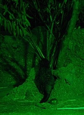 s170818東山動物園ナイト12ビーバー赤ちゃんポリポリ.JPG